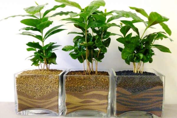 Вырастить кофейное дерево