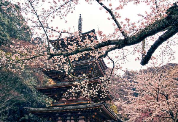 Ханами - любование цветами (Япония)