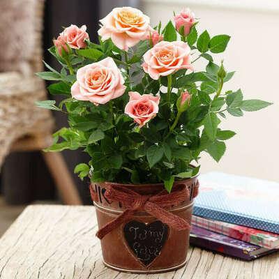 Комнатная кустовая роза