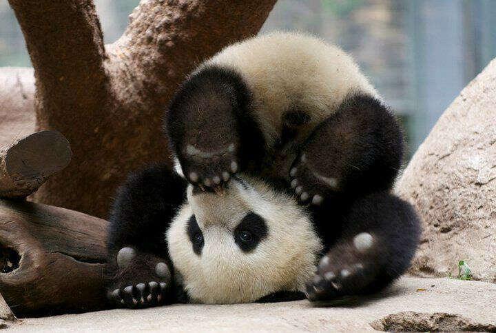 Увидеть панду:)