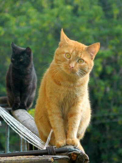 Рыжий или черный кот