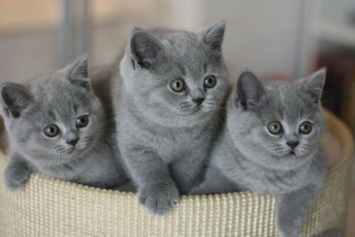 Британского котенка