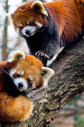 Увидеть красную панду
