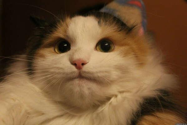Хочу кота