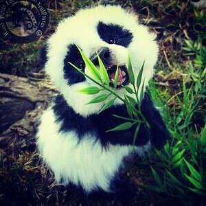 Увидеть живую панду