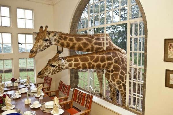Хочу побывать в отеле Giraffe Manor в Найроби!