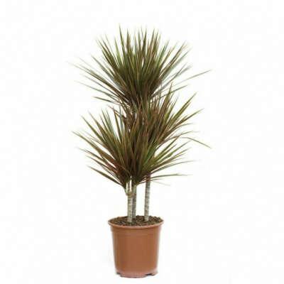 Комнатный цветок (пальма)
