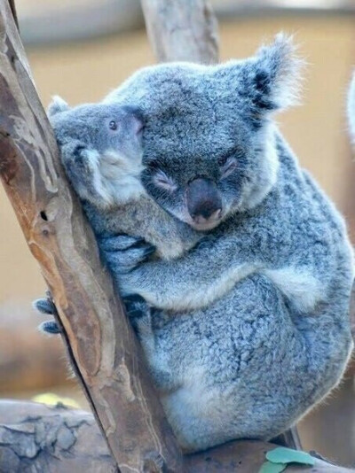 Обнять коалу