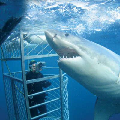 Поплавать с акулой