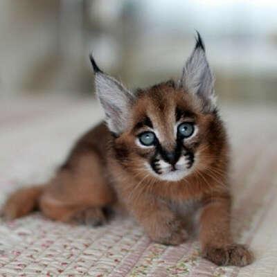 Котенка породы каракал))