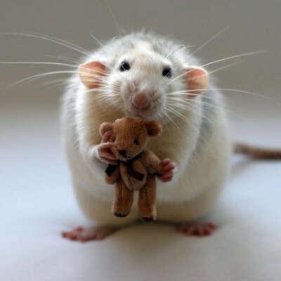 Хочу крысу ^.^