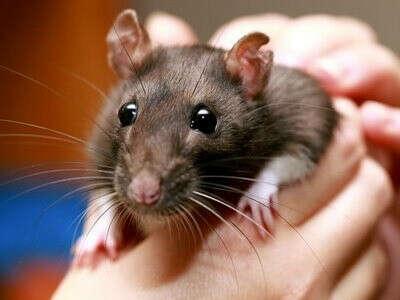Крыса и клетка