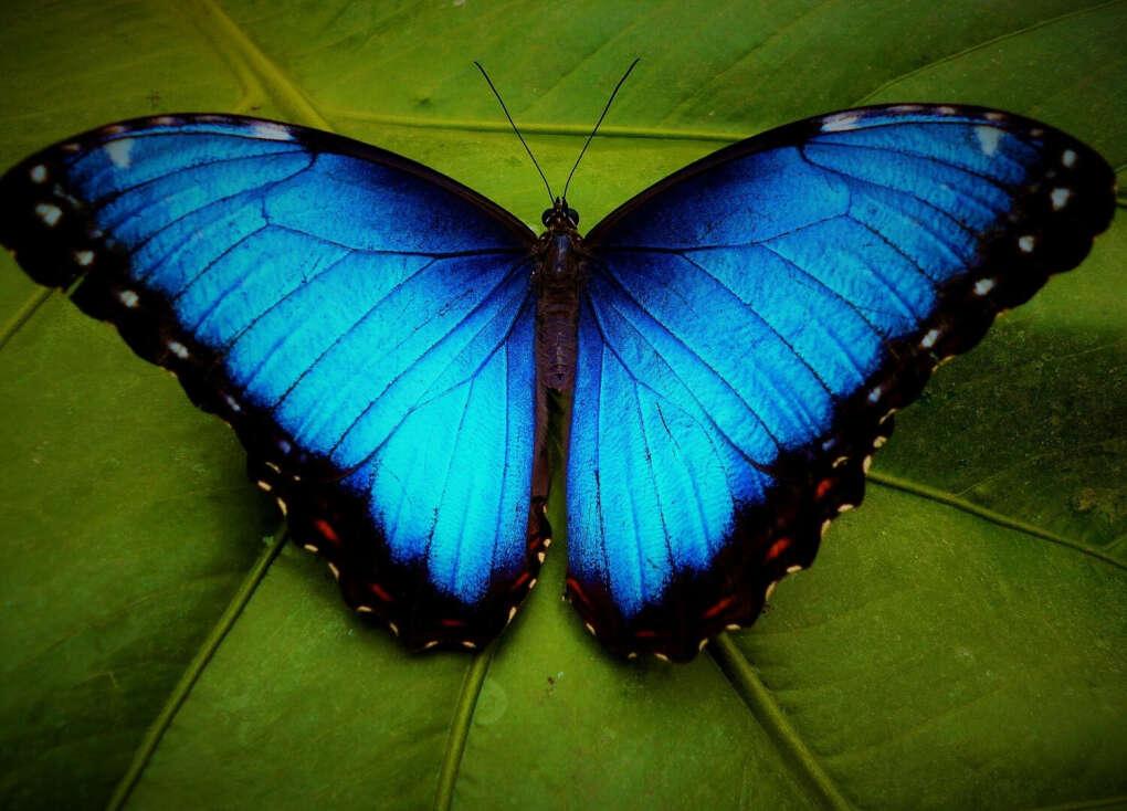 Перебороть страх насекомых и увидеть вживую бабочку Морфо
