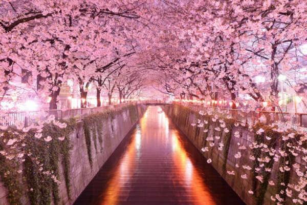 Япония во время цветения сакуры