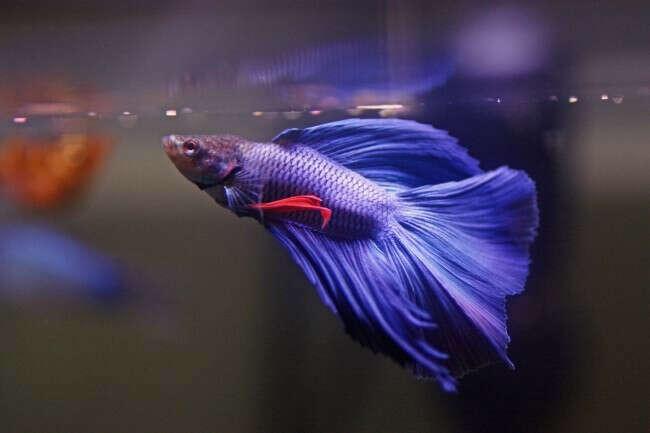 Завести рыбку Петушок и купить для него аквариум