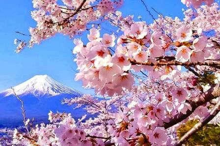 Увидеть цветение сакуры в Токио