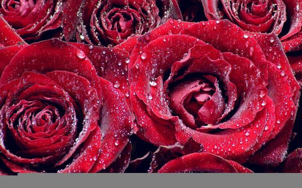 Хочу красных роз