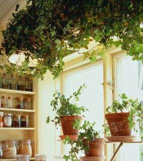 Вьющееся растение в квартиру