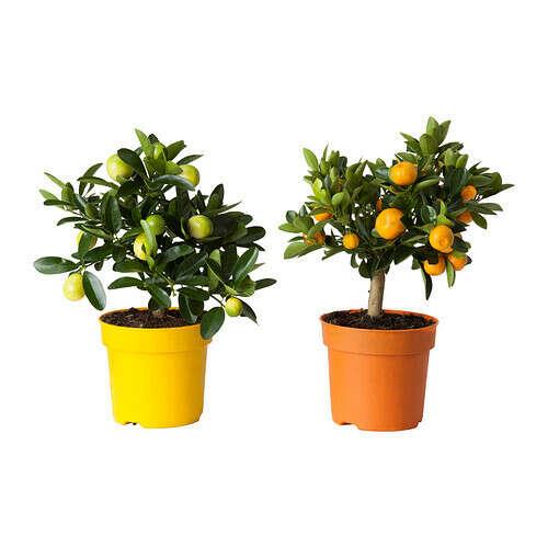 Лимонное дерево - IKEA