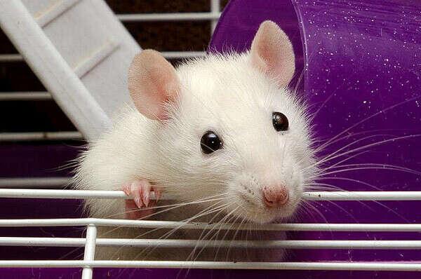 Декоративную крысу