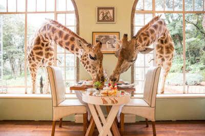 Завтракаю в кафе с жирафами