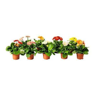 ГЕРБЕРА Растение в горшке - IKEA
