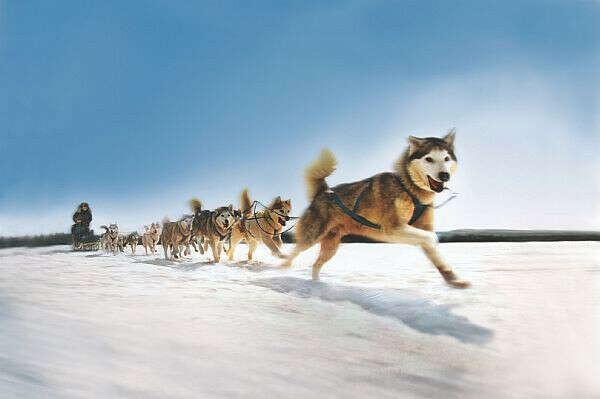 Покататься на собачьей упряжке