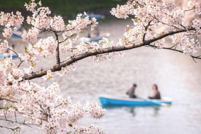 Прогуляться под цветущей сакурой в Японии