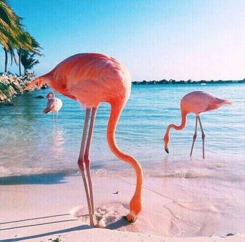 увидеть фламинго
