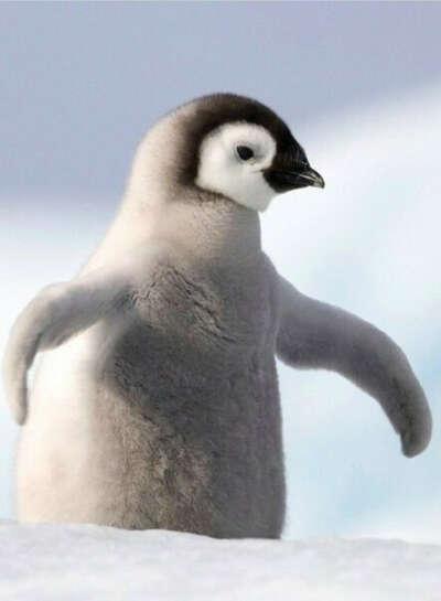 Обнять пингвина:)