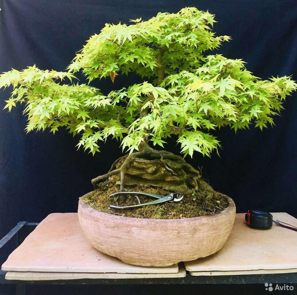 Бонсай (лиственное дерево)