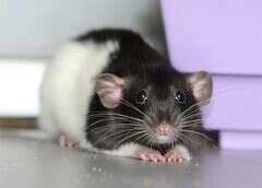 Хочу домашнюю крысу