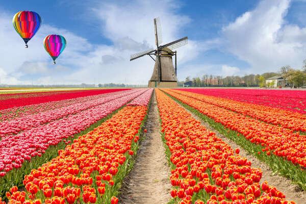 Погулять по полю тюльпанов во время их цветения.