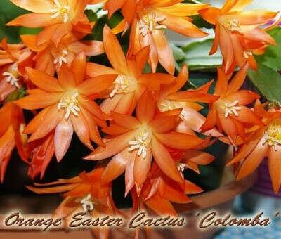 Rhipsalidopsis Orange Easter Cactus Colomba