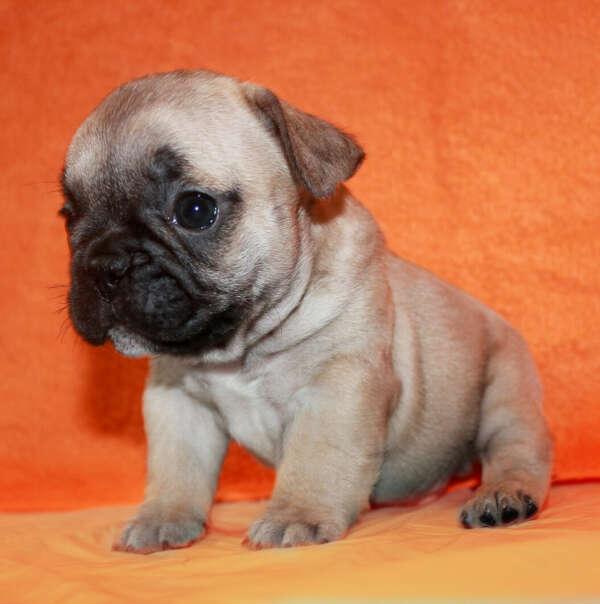 Французский бульдог щенок собаки