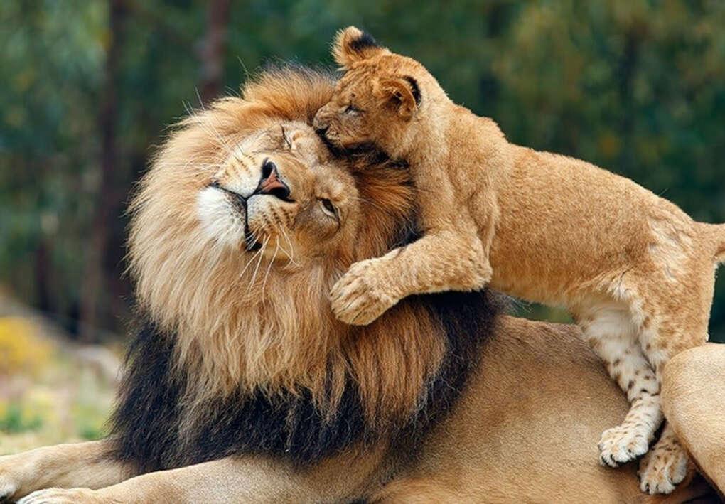 Завести домашнего льва