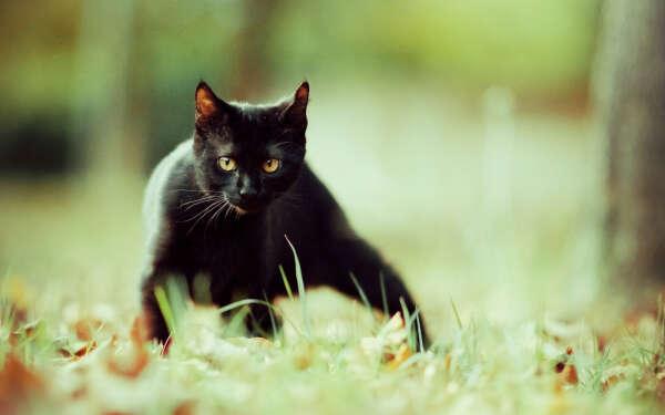 Умную черную кошку