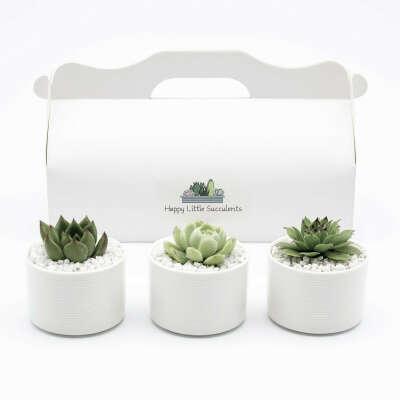 HAPPY LITTLE SUCCULENTS Three Mini Succulents
