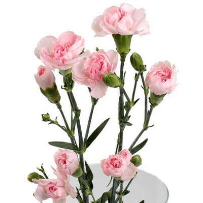 Розовые кустовые гвоздики