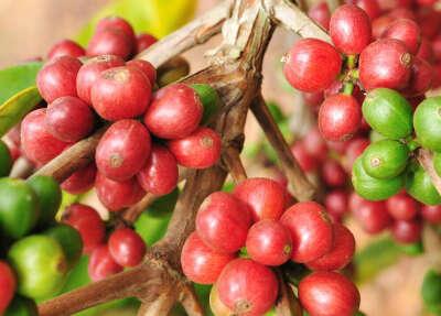 саженец кофе катимор