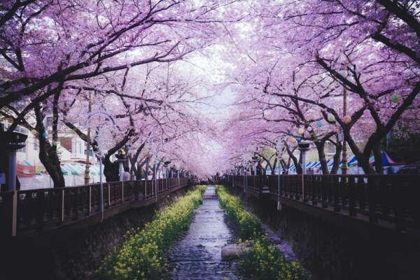 увидеть цветение вишни в Корее