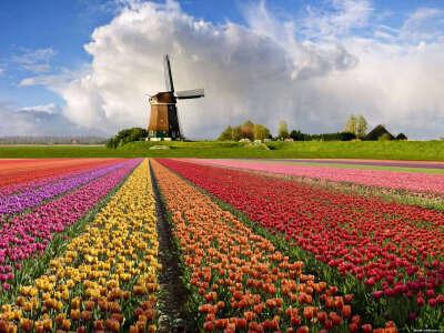 Пройтись по тюльпанных полях в Нидерландах в конце апреля