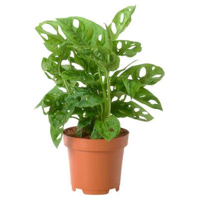 MONSTERA ADASONII МОНСТЕРА АДАНСОНА Растение в горшке, Монстера деликатесная, 12 см - IKEA