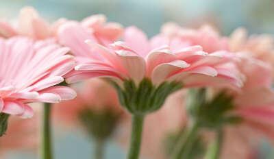 Нежно-розовые герберы