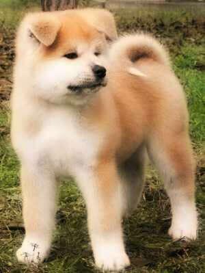 Хочу щенка акита-ину