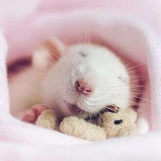 Мечтаю о крыске