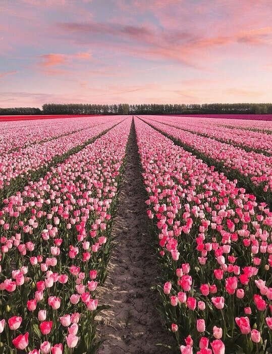 Побывать в тюльпановом поле