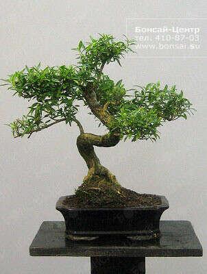 Бонсай - китайское дерево