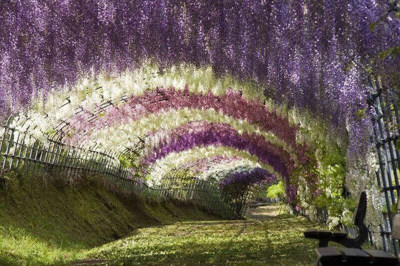 Посетить цветочный тоннель Кавачи Фуджи, Япония