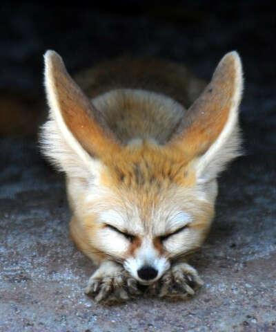 Завести лисичку фенек
